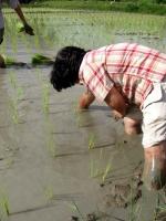 rice-planting-1.jpg